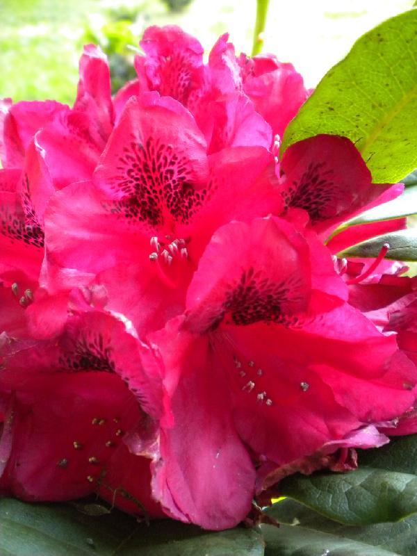 Fleur de rhododendron vue de près