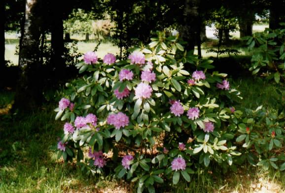 Rhododendron ombragé