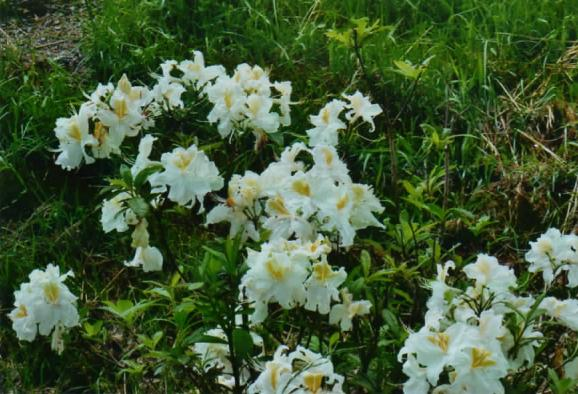Rhododendron blanc